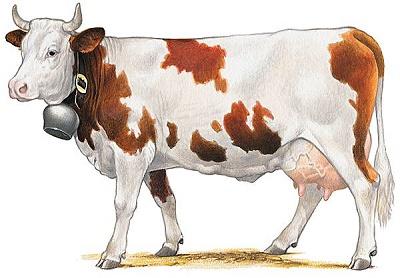 Vache_de_la_race_montbéliarde JVC