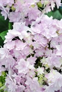 Hortensia ma plante_jevouschouchoute_jvc