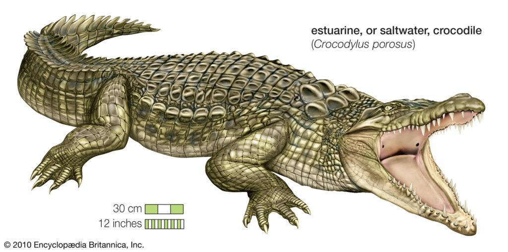 crocodile JVC jevouschouhoute