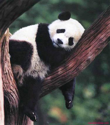 pandas chinois JVC jevouschouchoute pari coupe du monde