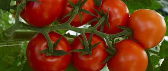 tomate4-rabelais-jevouschouchoute.fr