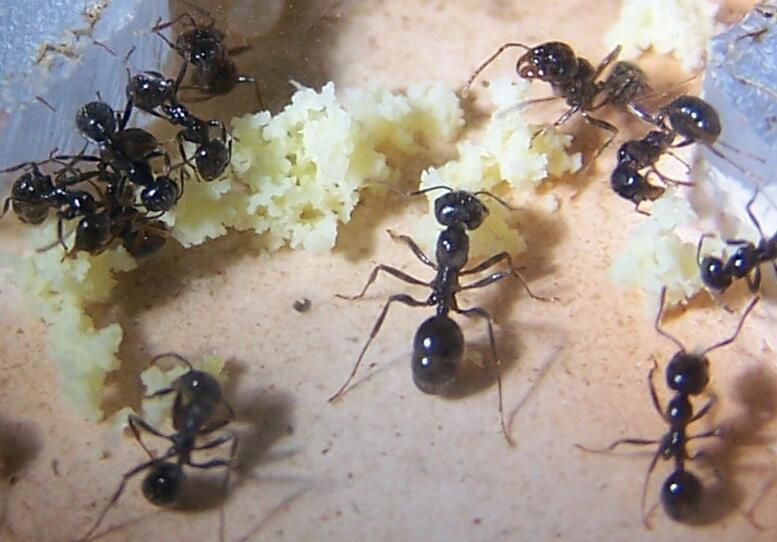 fourmis dechets alimentaires