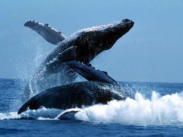 baleine à bosse-jvc-jevouschouchoute