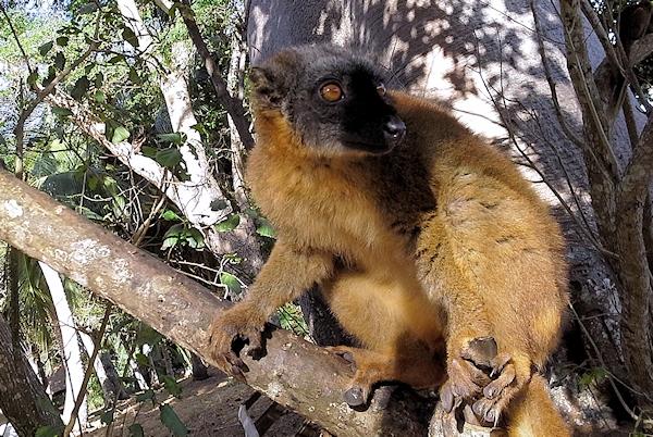 maki -Mayotte