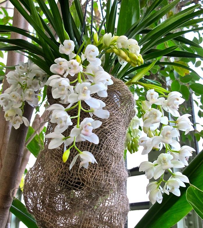 Magiques orchidées