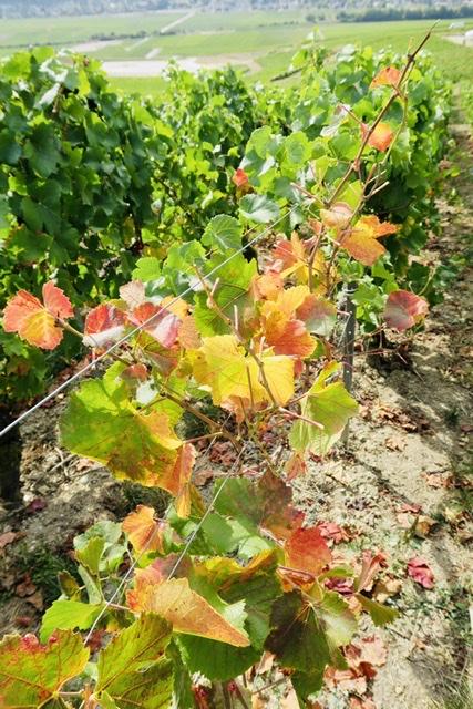 Vignobles & signatures vin raisin